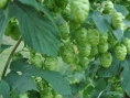 Beer hop leaves could battle dental diseases